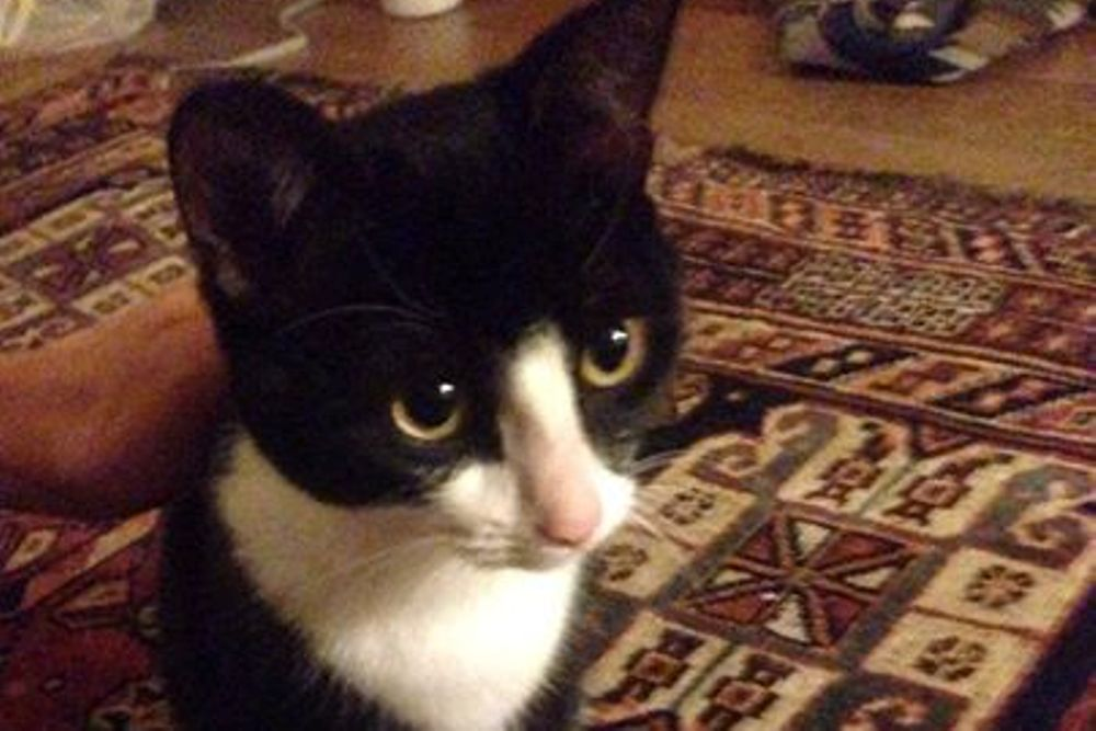 cat  u0026 kitten adoption melbourne