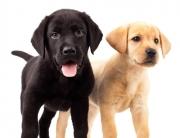 Two Labrador Pupplies
