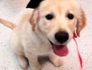 puppy graduating from northcote vet puppy school
