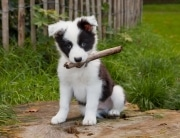 puppy has a stick in his mouth outdoors