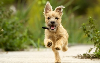 Cairn Terrier Puppy