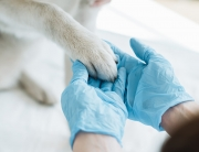 veterinarian in latex gloves examining dog paw
